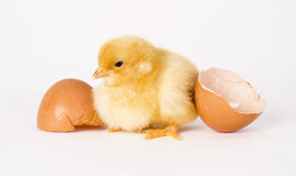 Freshly Hatched Chicken Stands By Egg Shells Royalty Free Stock Images