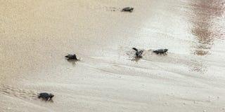 Hatched behandla som ett barn sköldpaddor som går på sand som försöker att få in i havet, ett vände uppochnervänt efter v arkivbild