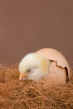 Hatched chick Royalty Free Stock Images