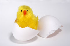 Hatched Chick. Artificial chick hatched from egg Royalty Free Stock Photos