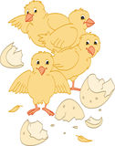 Hatched Chicks Stock Image