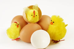 Little Newborn Baby Chickens Stock Image Image Of Baby Creature 15796067