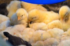 Hatched chicks in poultry farm, close up image. Royalty Free Stock Photos