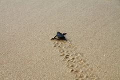 Hatched sea turtle leaving footprints in the wet sand on it`s way into the sea. Hatched sea turtle leaving footprints in the wet sand on it`s way into the ocean royalty free stock photography