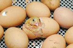 Hatching. Chicken just hatch the egg Royalty Free Stock Images