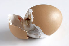 Hatching 6. Chicken trying to come out of the egg Stock Image