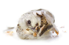 Hatching. Of a chick in front of white background stock photo