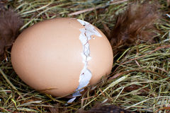 Hatching chick in nest. Nest with unborn chick trying to get out of his egg Royalty Free Stock Photos