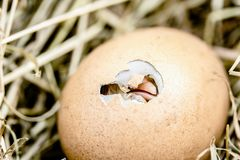 Hatching Chicks, Egg Shell Break Stock Photos