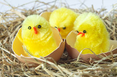 Hatching Chicks in Nest Royalty Free Stock Image
