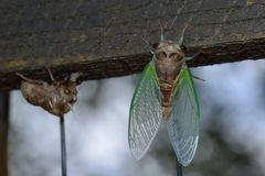 Hatching cicada. Newly hatched cicada with shell clinging to fence stock photos