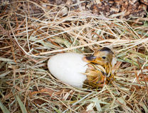 Hatching of a duckling. Hatching of a yellow duckling out of his egg Stock Photography