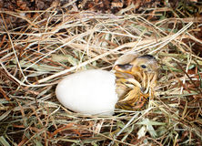 Hatching duckling. Hatching little mallard duckling from its egg Royalty Free Stock Photos