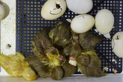 Hatching of eggs  ducklings  of a musky duck in an incubator. Hatching of eggs of ducklings of a musky duck in an incubator. Cultivation of poultry Stock Photo