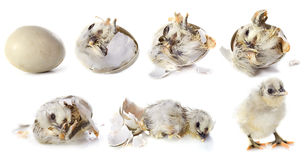 Hatching. Evolution of hatching in front of white background stock images