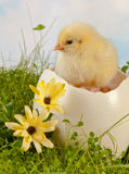 Hatching in the garden. Fluffy easter chick hatching from a big ostrich egg on grass royalty free stock images