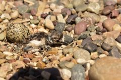 Newly hatching Killdeer chick emerging from it`s egg. Hatching Killdeer chick emerging from it`s egg. Starting to crawl around on pebbles and getting ready to Stock Images