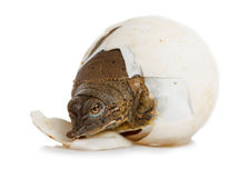 Hatching Spiny Softshell Turtle - Front Left Stock Image