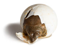 Hatching Spiny Softshell Turtle - Portrait. This Spiny Softshell Turtle (Apalone spinifera) hatched in 2015 in Illinois. Photographed indoors and isolated on Royalty Free Stock Images