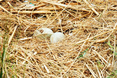 Hatching swan egg. Closeup hatching swan egg in a nest Royalty Free Stock Photo