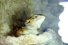 Hatchling Agama Pogona Brodatego barbata wygrzewa się lampa fotografia stock
