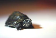 Hatchling comune della tartaruga di muschio Immagini Stock Libere da Diritti