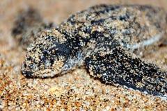 Hatchling da tartaruga de Leatherback Fotos de Stock