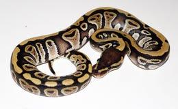 Hatchling de Phantom Royal Python Image stock