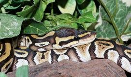 Hatchling de Phantom Royal Python dans le feuillage Images stock