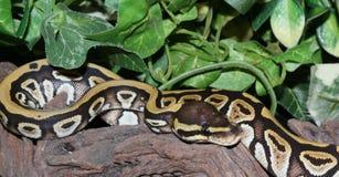 Hatchling de Phantom Royal Python dans le feuillage Photo libre de droits
