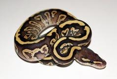 Hatchling de Phantom Royal Python du feu Photos libres de droits