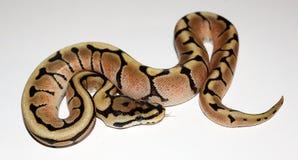 Hatchling de Phantom Spider Royal Python Photographie stock libre de droits