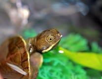 Hatchling della tartaruga dell'acqua dolce Fotografia Stock Libera da Diritti