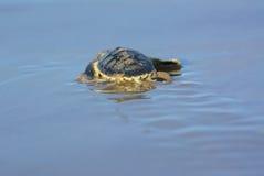 Hatchling della tartaruga di mare di Flatback Immagine Stock Libera da Diritti