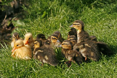 Hatchling of a duck, Anas platyrhynchos Royalty Free Stock Photo
