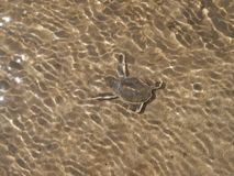 Hatchling Green sea turtles on the beach in the water finally arrived in the ocean. Comoros island, moheli itsamia baby, new born out ouf the egg green marine royalty free stock image