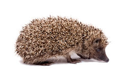 Hatchling Hedgehog common Stock Photos