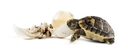 Hatchling, next to the egg from which he hatched out Royalty Free Stock Photography
