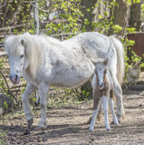Hatchling pony with his mother on the farm Stock Photo