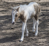 Hatchling pony for a walk Royalty Free Stock Images