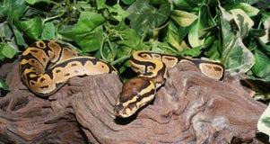 Hatchling royal de python du feu dans le feuillage Images libres de droits