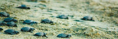 Baby Sea Turtles Set Free on a Journey to the Ocean. Hatchling sea turtles making their way to the ocean along the beach in hopes of avoiding pitfalls and royalty free stock image