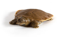 Hatchling Spiny Softshell Turtle - Front Left Stock Photo