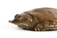 Hatchling Spiny Softshell Turtle - Left Profile. This Spiny Softshell Turtle (Apalone spinifera) hatched in 2015 in Rock Island County, Illinois Stock Photos