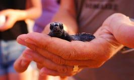 Hatchlingen för havssköldpaddan, Loggerhead behandla som ett barn arkivbilder