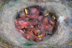 Hatchlings голубой синицы на гнезде Стоковое Изображение RF