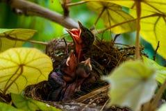 Hatchlings affamati che richiedono l'alimento fotografia stock