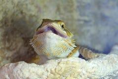 Hatchlings-bärtiges Dickzungeneidechse Pogona-barbata aalende Lampe stockfotografie