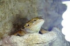 Hatchlings-bärtiges Dickzungeneidechse Pogona-barbata aalende Lampe lizenzfreie stockfotografie