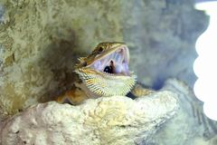 Hatchlings-bärtiges Dickzungeneidechse Pogona-barbata aalende Lampe stockfoto